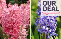 Brighten Up Your Garden with a Pack of 40 Hyacinth Bulbs for Just $29! Valued at $85. Beautiful Colours Include Pink, Blue, White & Mauve